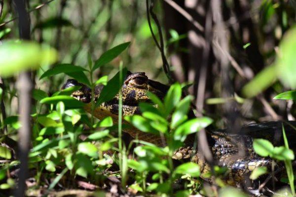 Visitare il Mato Grosso - un caimano nascosto